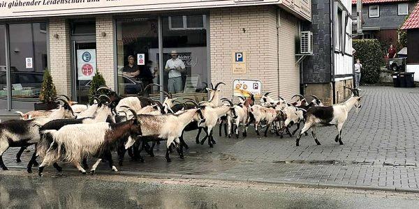 Ziegenherde in Wolfshagen