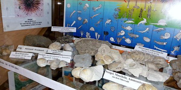 Fossilien im Heimathaus in Schladen