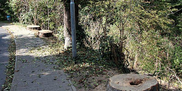 Am Burgweg wurden drei massiv geschädigte Ebereschen entfernt