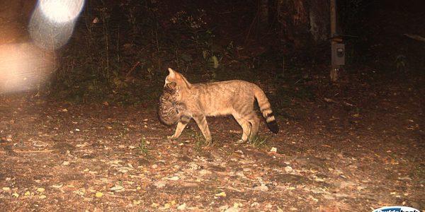 Wildtierbeobachtung - Wildkatze